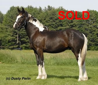 Gypsy horse for sale