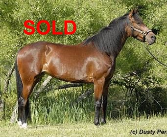 standard bred mare for sale