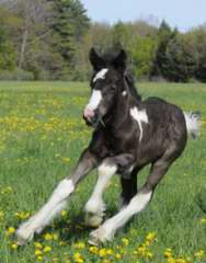 Gypsy horse filly foal for sale
