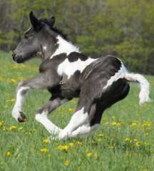 Gypsy  foal for sale
