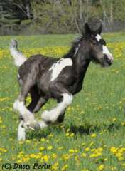 Gypsy filly for sale foal ink dots