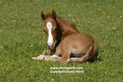 Foal laying in the grass