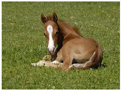 Foal in the Meadow - Horse Poster