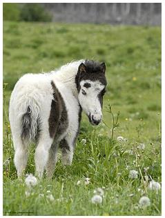Miniature Foal - Horse Poster